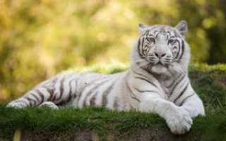 Белый тигр животное из красной книги