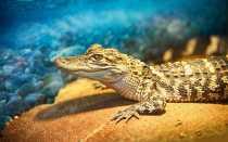 Чем дышит крокодил легкими или жабрами