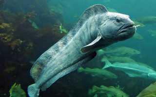 Зубатка синяя что за рыба