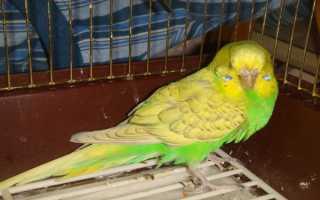 Волнистый попугай нахохлился и закрывает глаза