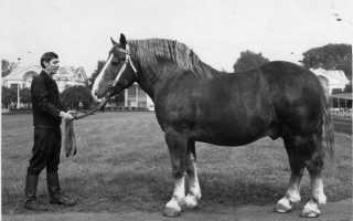 Советская порода лошадей