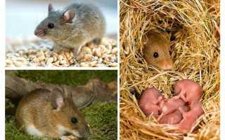 Продолжительность жизни мыши