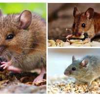 Чем питаются мыши зимой