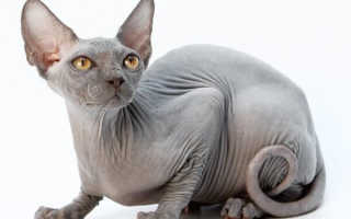 Сколько живут донские сфинксы коты