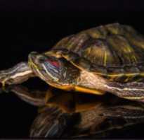 Сколько рожают красноухие черепахи