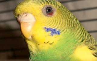 Попугай прикрывает глаза