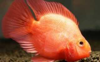 Рыба попугай болезни фото и лечение