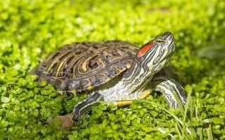 Черепаха красноухая описание для детей