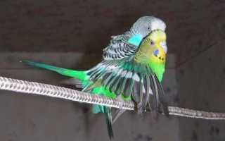 Волнистый попугай спаривание