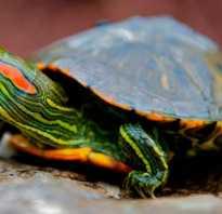 Как какают красноухие черепахи