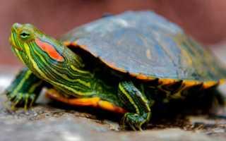 Почему не растет красноухая черепаха
