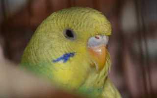 Как определить попугай девочка или мальчик