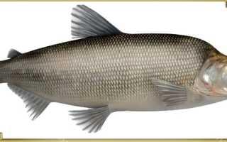 Мускус рыба фото