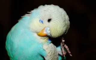 Попугай сильно линяет и чешется