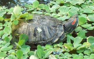 Красноухая черепаха где обитает в природе