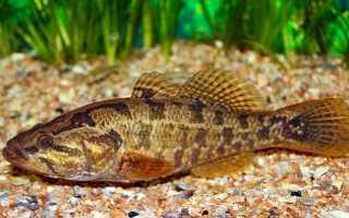 Ротан рыба размеры