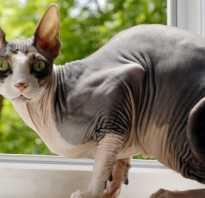 Котята сфинкса и обычной кошки