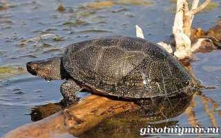 Болотная черепаха красная книга