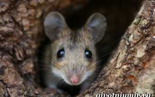 Мышь относится к животным