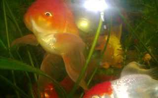 Какая память у рыбки
