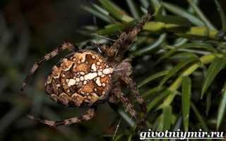 Паукообразные паук крестовик