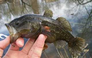 Ротан хищная рыба