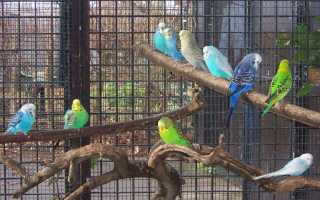 Как щебечут волнистые попугаи