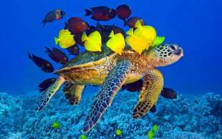 Красноухие черепахи с кем уживаются