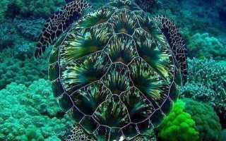 Как дышат красноухие черепахи под водой