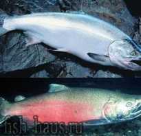 Фото рыбы кижуча