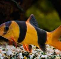 Боции совместимость с другими рыбами
