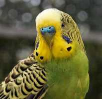 У попугая блохи что делать