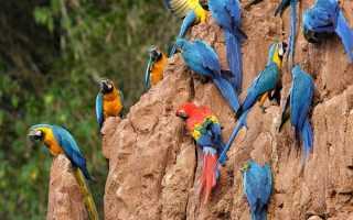 Дешевые говорящие попугаи