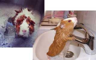 Как правильно купать морскую свинку