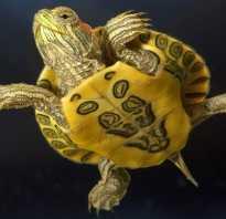 Как видят черепахи красноухие