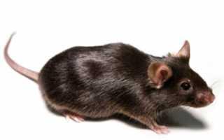 Температура тела домовой мыши