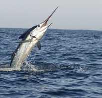 Информация о рыбе меч