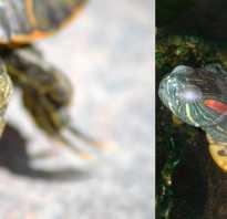 Красноухая черепаха спячка в домашних условиях
