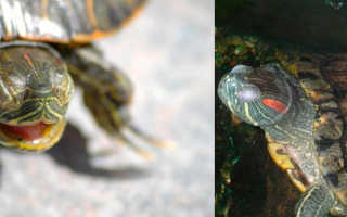 Красноухая черепаха спит зимой