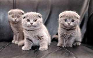 Вислоухие котята как ухаживать