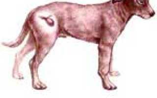 Признаки воспаления мочевого пузыря у собак