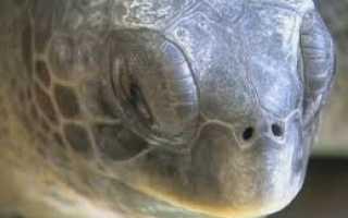 Как разбудить черепаху из спячки красноухую