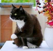 Подстриженный кот фото