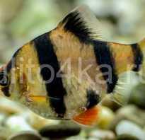 Виды аквариумных барбусов с фото