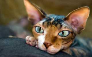 Коты сфинксы в египте
