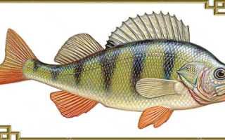 Окунь что за рыба