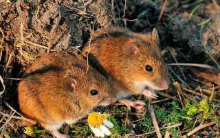 Чего боится мышь полевка