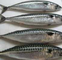 Рыба скумбрия фото и описание