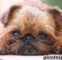 Гриффон собака разновидности