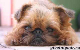 Гриффон собака гладкошерстная фото